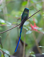 Cloud Forest Violet Tailed Sylph